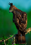 Changeable Hawk-Eagle, Yala National Park,Sri Lanka