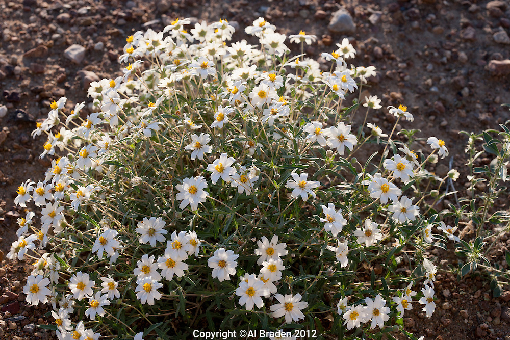 Plains Black-foot Daisy, (Melampodium leucanthum),  Big Bend National Park, Texas