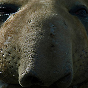 The elegance of an elephant seal pertrait on South Georgia [Island] in the South Atlantic.