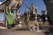 Lion darted for relocation to Malawi (Panthera leo)<br /> Anaesthetized lion for flight transportation<br /> Pilansberg Game Reserve<br /> North West Province<br /> SOUTH AFRICA