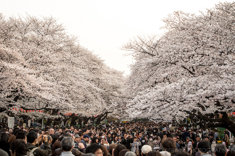 Ueno park in central Tokyo pullulates of thousands of people when the cherry trees are at their blossoming peak. The concept of the adoration is all about the transient beauty of cherry blossom. The flowers are on the trees for less than a week.
