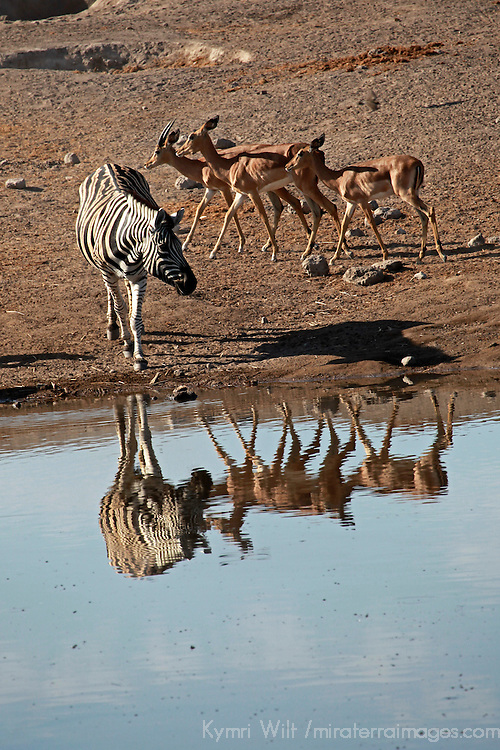 Africa, Namibia, Etosha. Burchell's Zebra and Black Faced Impala in Etosha.