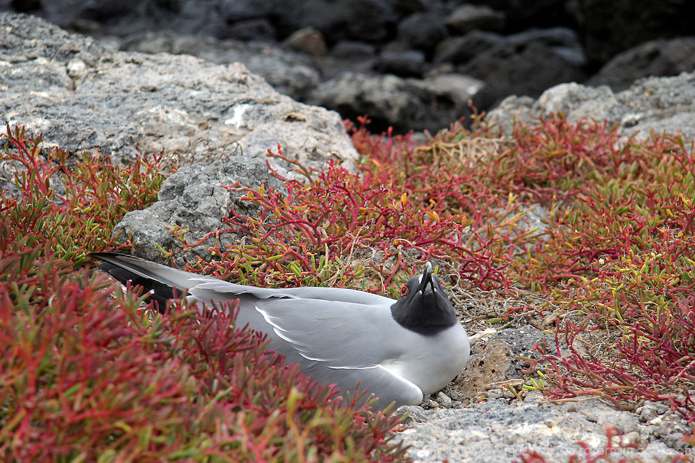 South America, Ecuador, Galapagos, South Plaza Island. Swallow-tailed Gull of the Galapagos.