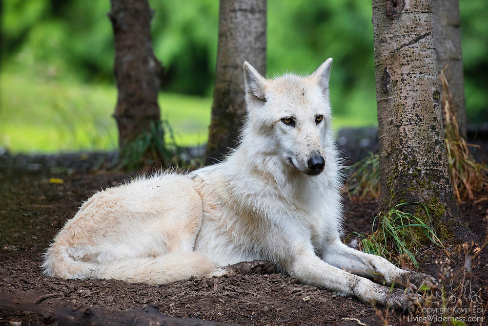 A captive gray wolf (Canis lupus) rests in a wooded area of the Pacific Northwest. The gray wolf, also spelled grey wolf, is also known as a timber wolf or a western wolf. In the western hemisphere, the gray wolf was once found throughout North America, but now is found mainly in Canada, Alaska and northern Greenland.