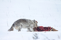 Gray wolf (Canis lupes)feeding on elk in Yellowstone National Park