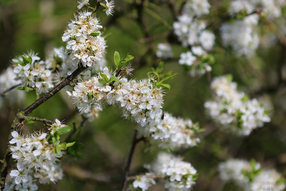 Blossom on a tree in Lane Woods, Little Chalfont in Bucks