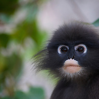 Wild Dusky, or Spectacled Langur or Dusky Leaf-monkey (Trachypithecus obscurus) at Khao Sam Roi Yot National Park, Thailand.