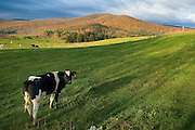 Dairy cows in the Green Mountains of Vermont USA