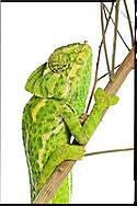 Common chameleon, Spain