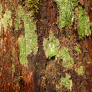 Lichen grows on an old-growth western red cedar tree in the Sol Duc area of Olympic National Park, Washington. Lichens, which are compound organisms consisting of a fungus and a photosynthetic patner, are found in some of the most extreme environments on Earth, as well as rain forests and temperate woodland.