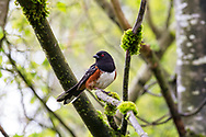 Male Spotted Towhee (Pipilo maculatus) cautiously surveying its surroundings in a Fraser Valley forest.