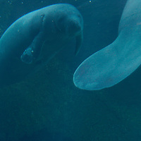 Hugh, a 22-year-old, 1300lb. manatee, left, swims with his 19-year-old, 1800lb. half-brother, Buffett, in their habitat at Mote Marine Laboratory in Sarasota, Fla., on Wednesday, August 23, 2006.  (PHOTO/CHIP LITHERLAND)