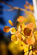 """SHOT 9/30/08 5:03:08 PM - Aspen leaves changing color near Central City, Co. Aspens are trees of the willow family and comprise a section of the poplar genus, Populus sect. Populus. The Quaking Aspen of North America is known for its leaves turning spectacular tints of red and yellow in the autumn of the year (and usually in the early autumn at the altitudes where it lives). This causes forests of aspen trees to be noted tourist attractions for viewing them in the fall. These aspens are found as far south as the San Bernardino Mountains of Southern California, though they are most famous for growing in Colorado. Autumn leaf color is a phenomenon that affects the normally green leaves of many deciduous trees and shrubs by which they take on, during a few weeks in the autumn months, one or many colors that range from red to yellow. The phenomenon is commonly called fall colors and autumn colors, while the expression fall foliage usually connotes the viewing of a tree or forest whose leaves have undergone the change. In some areas in the United States """"leaf peeping"""" tourism between the beginning of color changes and the onset of leaf fall, or scheduled in hope of coinciding with that period, is a major contribution to economic activity. Historic Central City is a Home Rule Municipality that is located in Gilpin County and Clear Creek County, Colorado, United States. The city is a historic mining settlement founded in 1859 during the Pike's Peak Gold Rush. Central City came to be known as the """"Richest Square Mile on Earth"""". Central City and the adjacent City of Black Hawk form the federally designated Central City/Black Hawk National Historic District. The population of Central City and its sister city Black Hawk fell to a few hundred by the 1950s. Casino gambling was introduced in both towns the early 1990s, but had more success in Black Hawk than in Central City..(Photo by Marc Piscotty / © 2008)"""