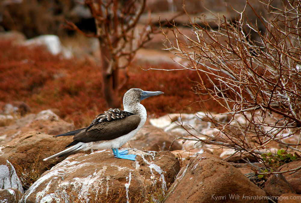 South America, Ecuador, Galapagos Islands. The Blue-footed Booby on North Seymour Island of the Galapagos.