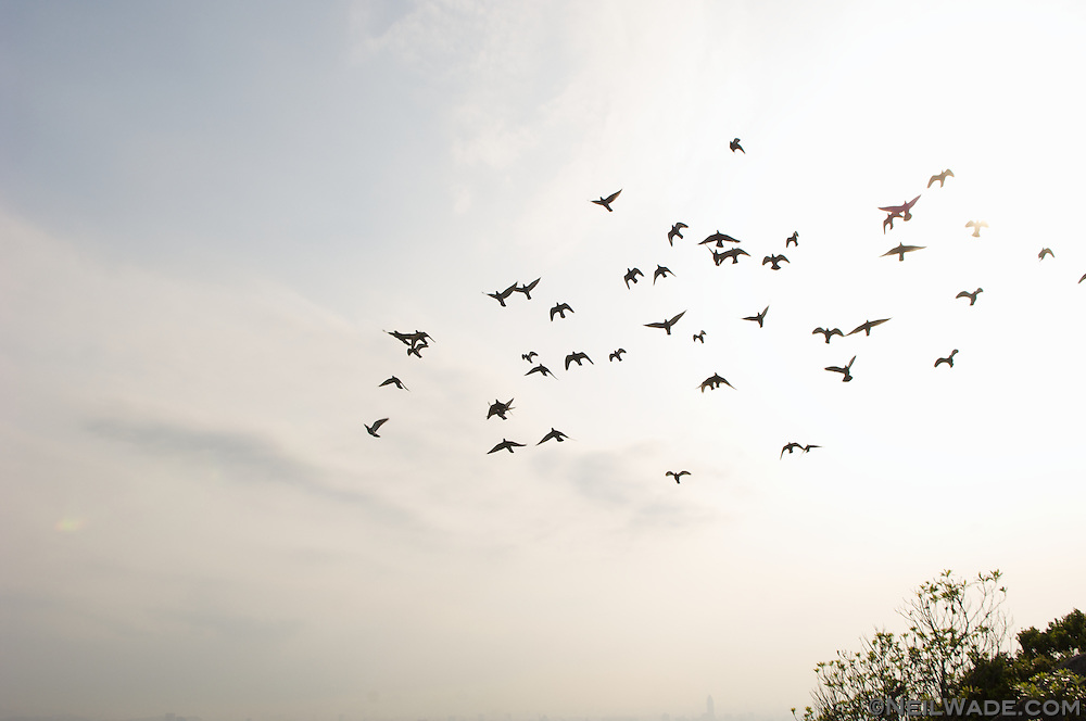 Asia, birds, flight, flock, fly, free, freedom, pigeons, sky, Taipei, Taiwan, Yangming Shan, ??, ??