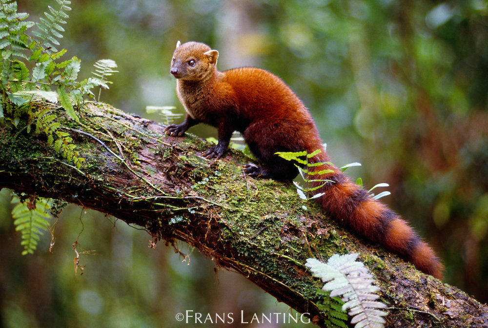 Ring-tailed mongoose, Galidia elegans, Ranomafana National Park, Madagascar