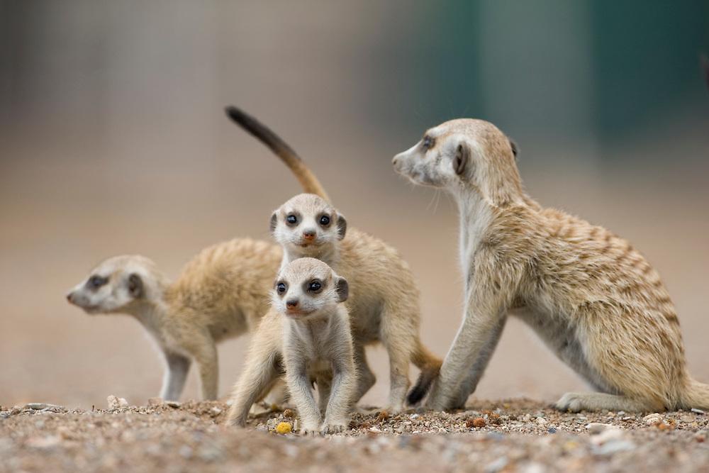 Africa, Namibia, Keetmanshoop, Meerkat pups (Suricata suricatta) exploring with adult outside burrow in Namib Desert