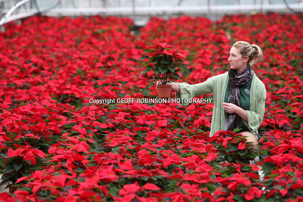 MARIE JACKSON  CHECKING THIS YEARS CROP OF POINSETTIAS... Shoppers could struggle to find a British poinsettia this year due to a SHORTAGE of the popular red Christmas plant...Families should start buying the flaming red pot plants now as supermarkets and garden centres are likely to run out of home-grown poinsettias...Demand for British poinsettias is always high because the festive flowers are better quality and longer-lasting than those grown on the continent...But many UK farmers have stopped growing the plants because of high heating and growing costs...