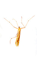 Hangingfly (Bittacus punctiger)<br /> TEXAS: Sabine Co.<br /> Brookeland near Lake Sam Rayburne<br /> 6-April-2016<br /> J.C. Abbott &amp; K.K. Abbott #2791