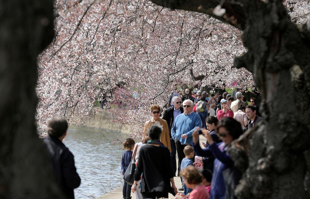 People walk under blooming cherry trees along the tidal bason in Washington March 23, 2016.      REUTERS/Joshua Roberts