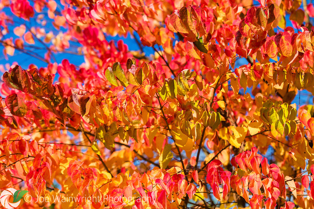 The blazing autumn tones of Cercidiphyllum japonicum - a flowering tree, native to China and Japan.