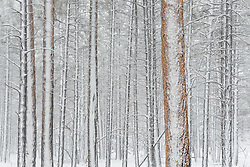 A winter scene deep within the forest on the South Rim of Grand Canyon National Park in Arizona.