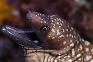 Gymnothorax prionodon (Mottled Moray)