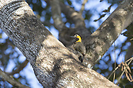 Campo Flicker (Colaptes campestris), Pantanal, Brazil