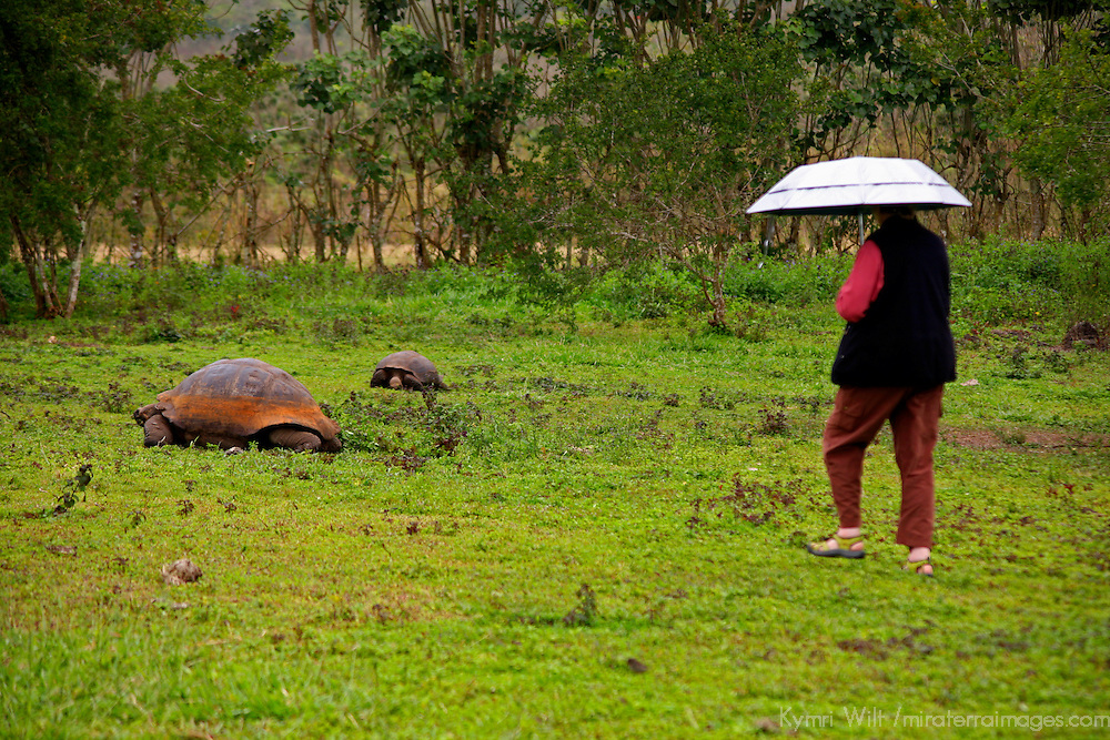 South America, Ecuador, Galapagos Islands. Galapagos Tortoise encounter.