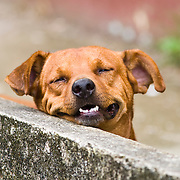 Domestic dog, with a happy smile on his face, Osa Peninsula, southern Costa rica.