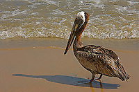 A Brown Pelican stands on a beach to dry its feathers.