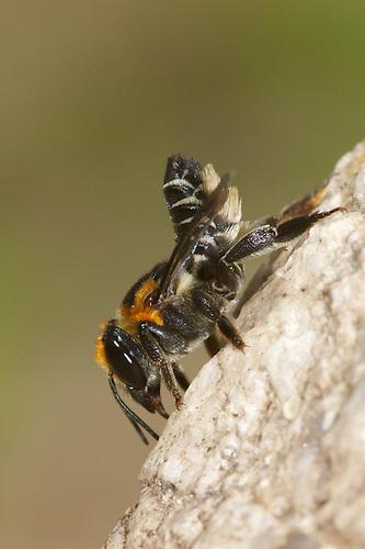 leafcutting bees - Megachilidae