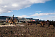 Cowboy Randy Jackson ropes and drags calves to the fire to be branded, Wilsall, Montana, MODEL RELEASED, PROPERTY RELEASED
