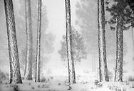 Ponderosa trees after a winter storm.  Sisters, Oregon 2010