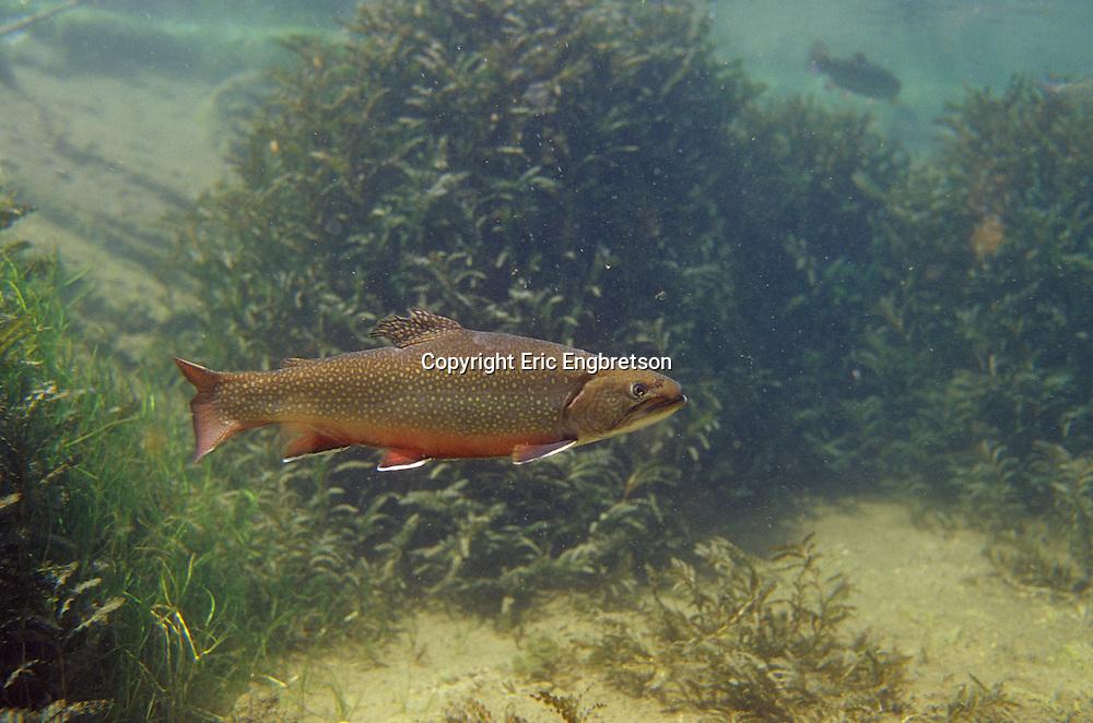 Brook Trout Underwater