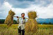 Sri, a Thai farmer, gathers the newly harvested rice so it can be processed.