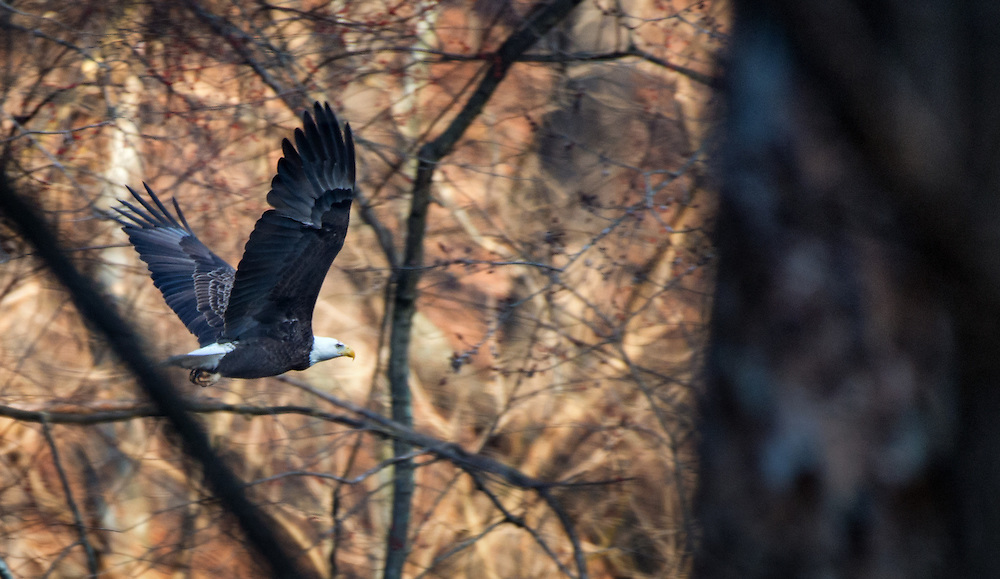 Bald Eagle flyby on the Patpasco River at Oella, Maryland.