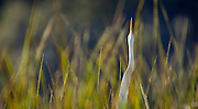An egret stretches toward the sky deep within a marsh of the May River.