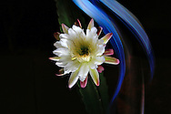 Light painting of a Cereus type cactus flower with the light from a cell phone.