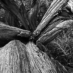 Near the Sugarloaf Summit Sedona, AZ a very Gnarled Junipers trunk gives a abstract view.
