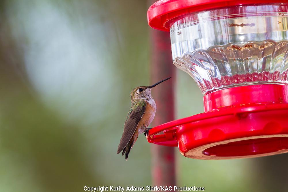 rufous hummingbird, Selasphorus rufus, in October, San Jose Ranch, near Laredo, Texas.