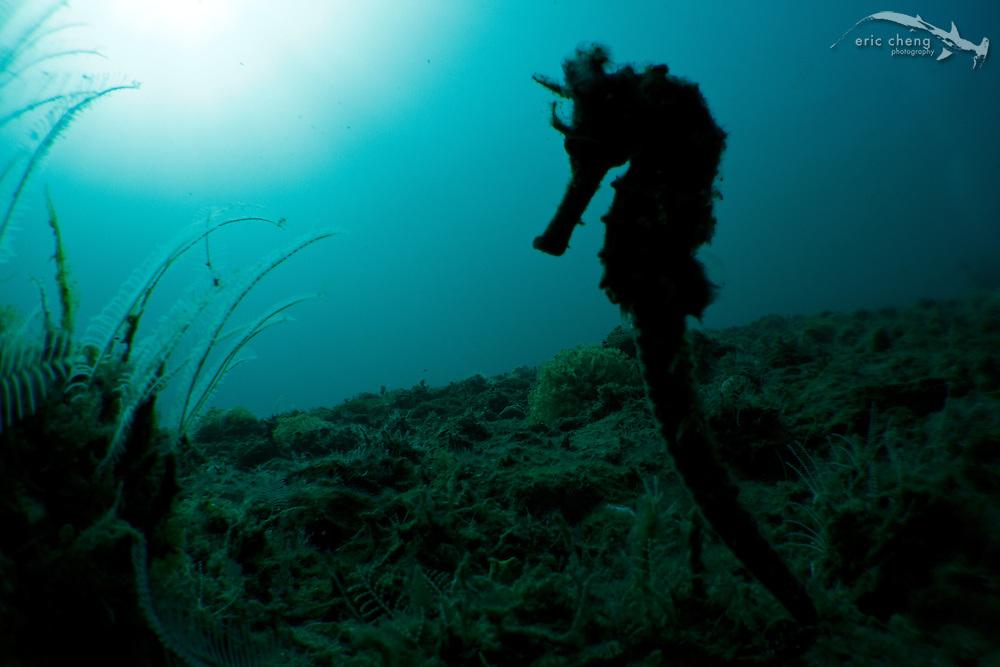 Thorny seahorse (Hippocampus hystrix) silhouette. Ambon, Maluku, Indonesia.