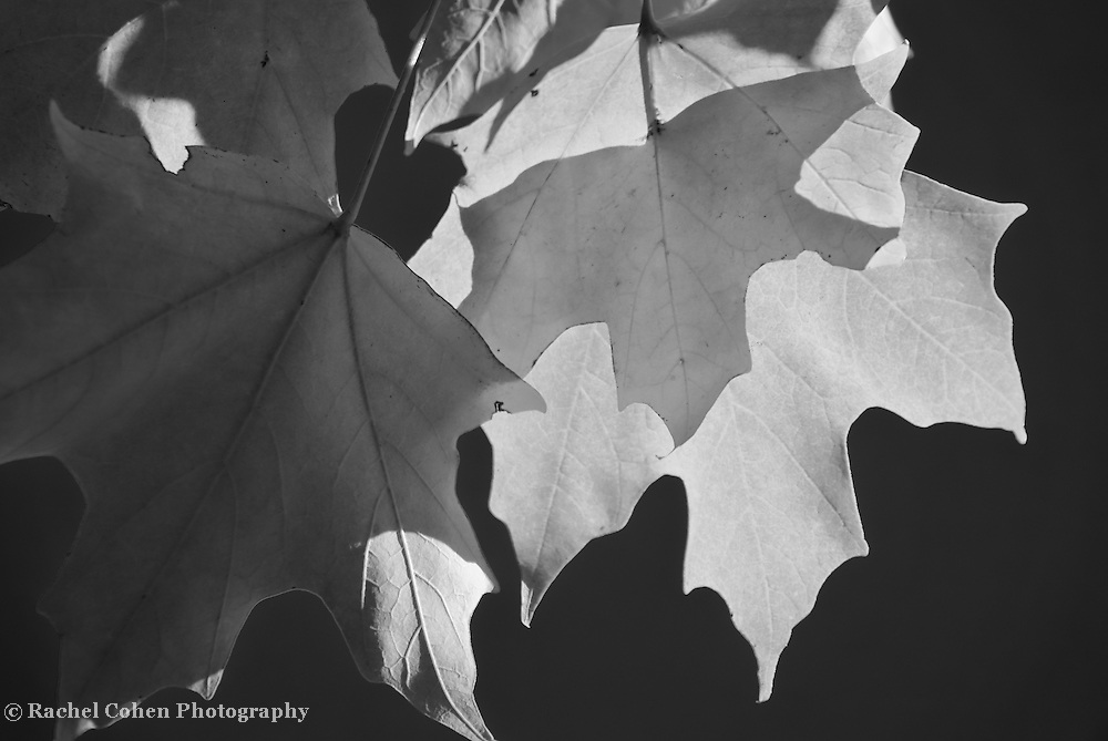 &quot;Sunlight Serenade&quot; <br /> <br /> Beautiful Maple leaves in darkness and light! A lovely and striking black and white nature image!