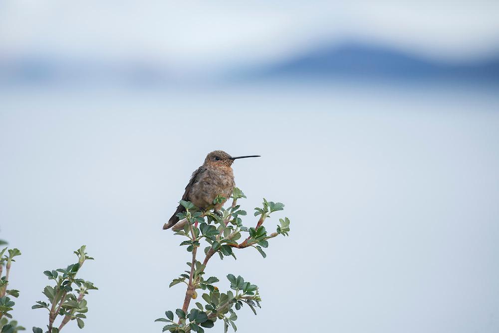 South America, Peru, Lake Titicaca, Suasi Island, Hummingbird, bird