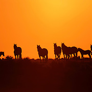 Mustang Herd on Hill Top at Sunset, McCullough Peaks Herd, Wyoming