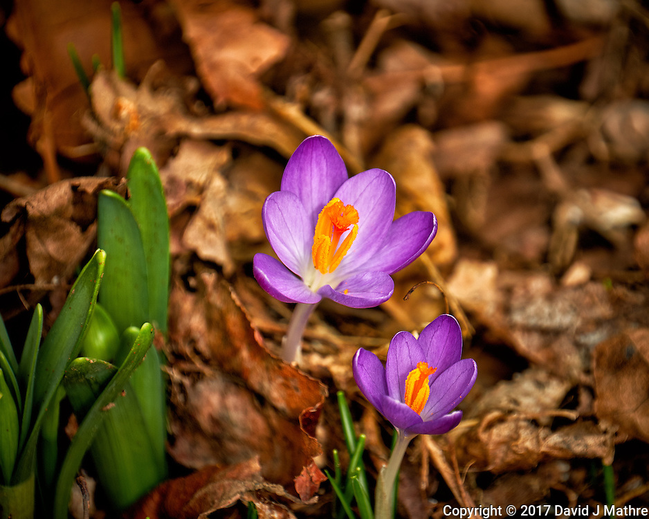 First Hint of Spring -- Early crocus flowers across the street. Winter nature in New Jersey. Image taken with a Fuji X-T2 camera and 100-400 mm OIS lens (ISO 200, 400 mm, f/5.6, 1/250 sec)