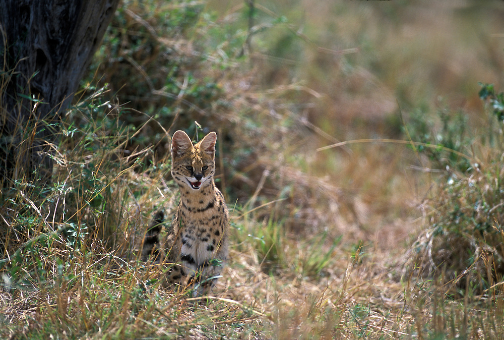 Africa, Kenya, Masai Mara Game Reserve, Serval (Felis serval) hunts for small rodents in tall savanna grass