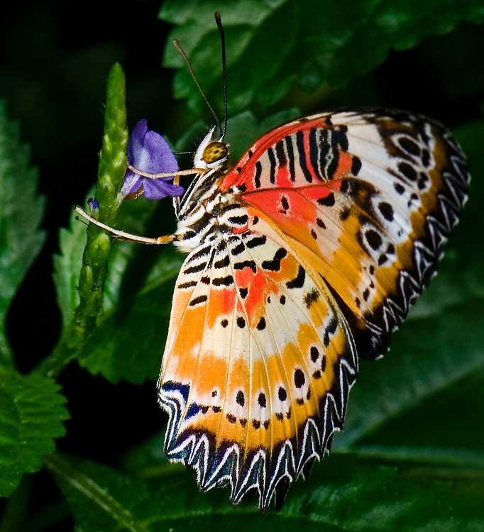 Cethosia biblis, Malay Butterfly