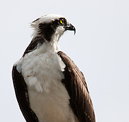 An adult Osprey watching other Ospreys in the area.