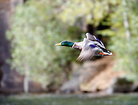 "OSLO 20070922; Duck at lake. Flying ducks. THE MALLARD ""wild duck"", is a dabbling duck. Male.  Anas platyrhynchos .PHOTO BY TOM HANSEN"
